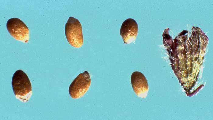 Mentha Arvensis Seeds Mentha Arvensis l Seeds